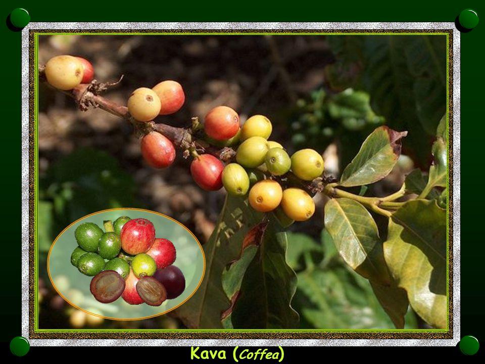 Kava (Coffea)