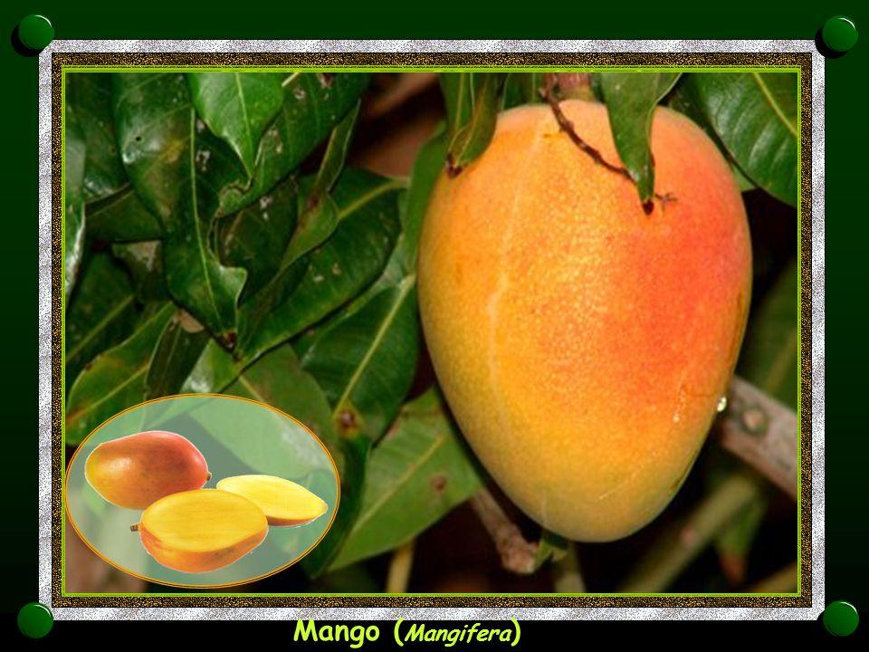 Mango (Mangifera)