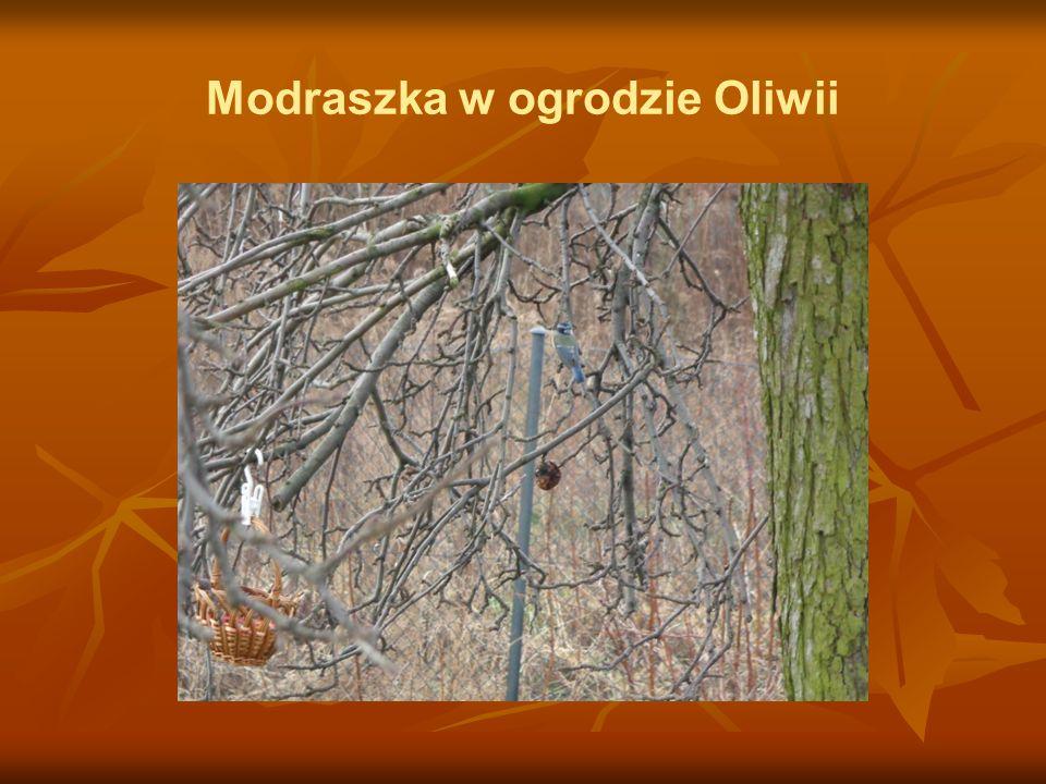 Modraszka w ogrodzie Oliwii