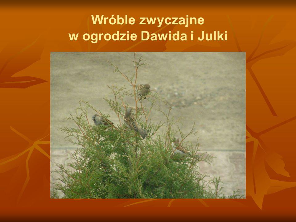 Wróble zwyczajne w ogrodzie Dawida i Julki