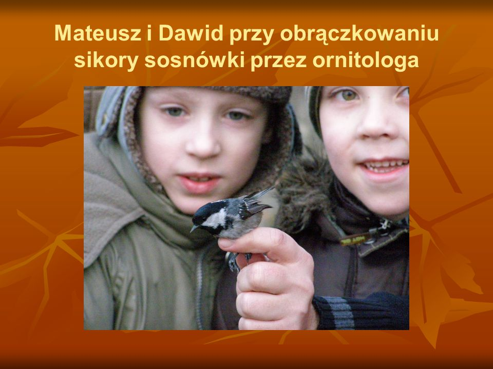 Mateusz i Dawid przy obrączkowaniu sikory sosnówki przez ornitologa