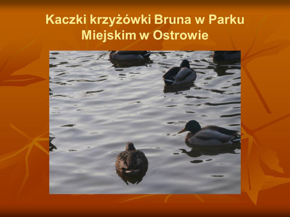 Kaczki krzyżówki Bruna w Parku Miejskim w Ostrowie
