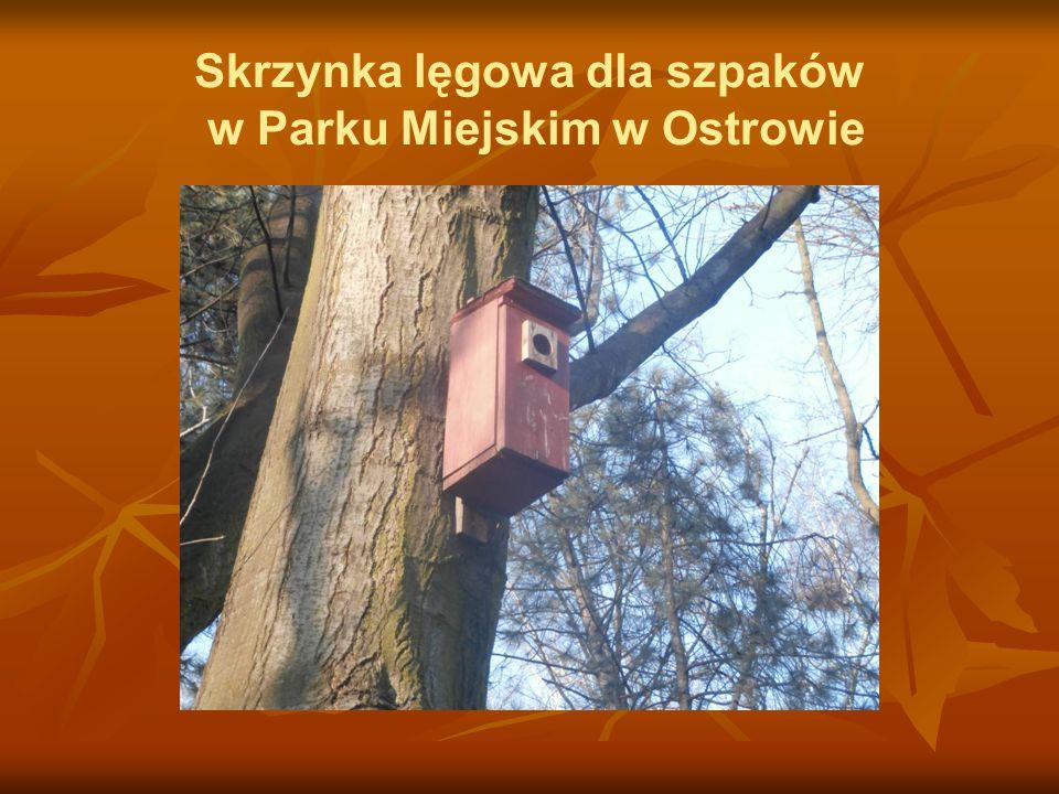 Skrzynka lęgowa dla szpaków w Parku Miejskim w Ostrowie