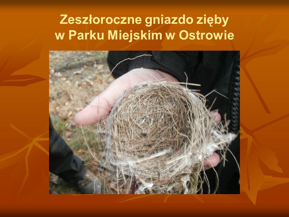Zeszłoroczne gniazdo zięby w Parku Miejskim w Ostrowie