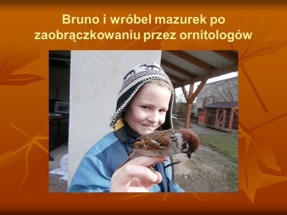 Bruno i wróbel mazurek po zaobrączkowaniu przez ornitologów