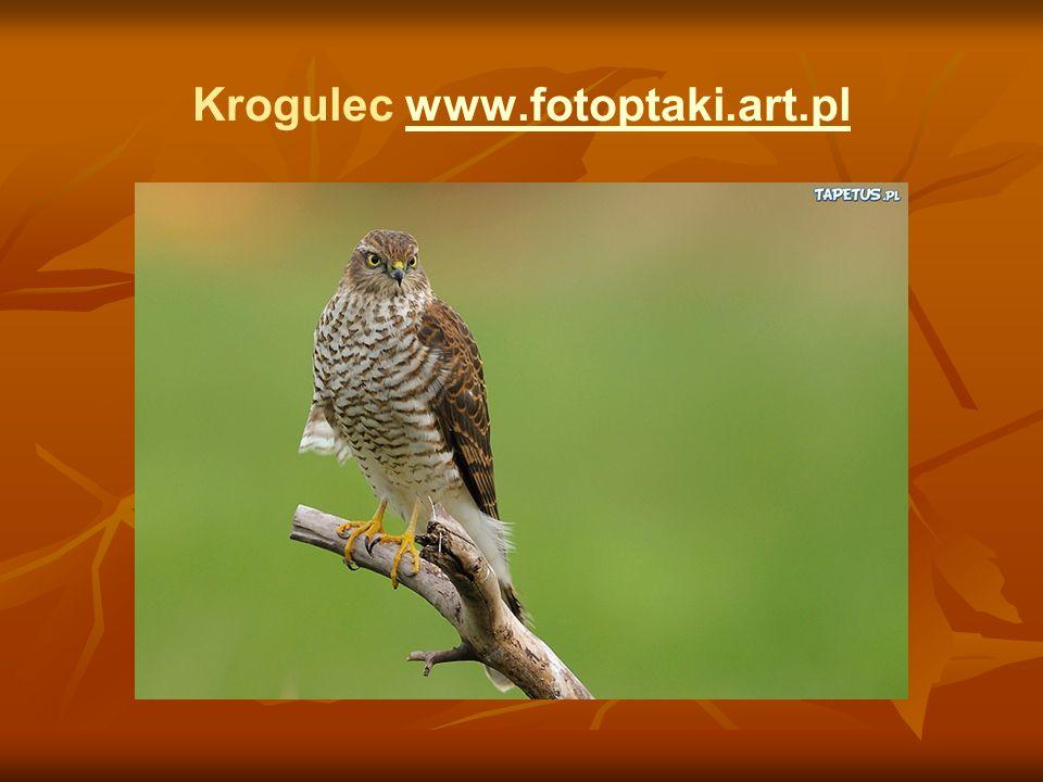 Krogulec www.fotoptaki.art.pl
