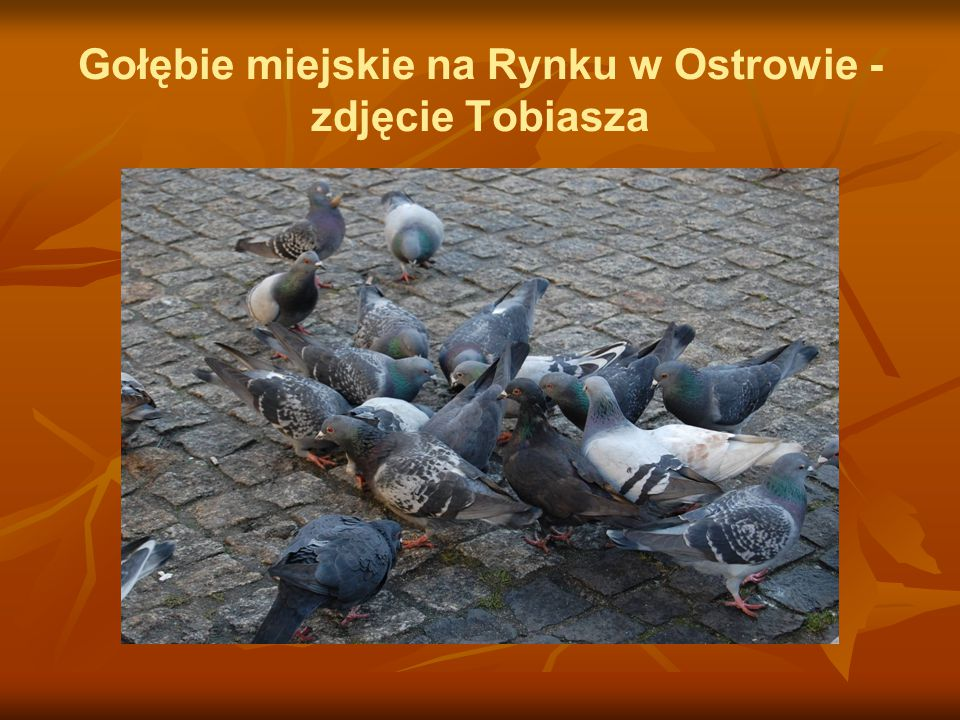 Gołębie miejskie na Rynku w Ostrowie - zdjęcie Tobiasza