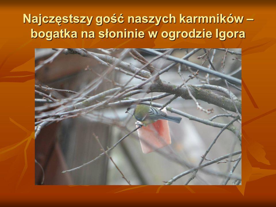 Najczęstszy gość naszych karmników – bogatka na słoninie w ogrodzie Igora