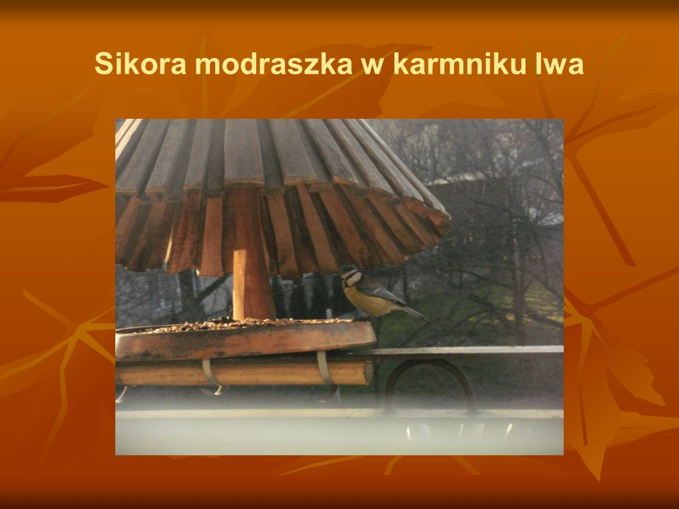 Sikora modraszka w karmniku Iwa