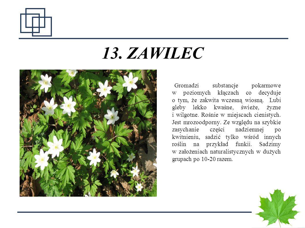 13. ZAWILEC