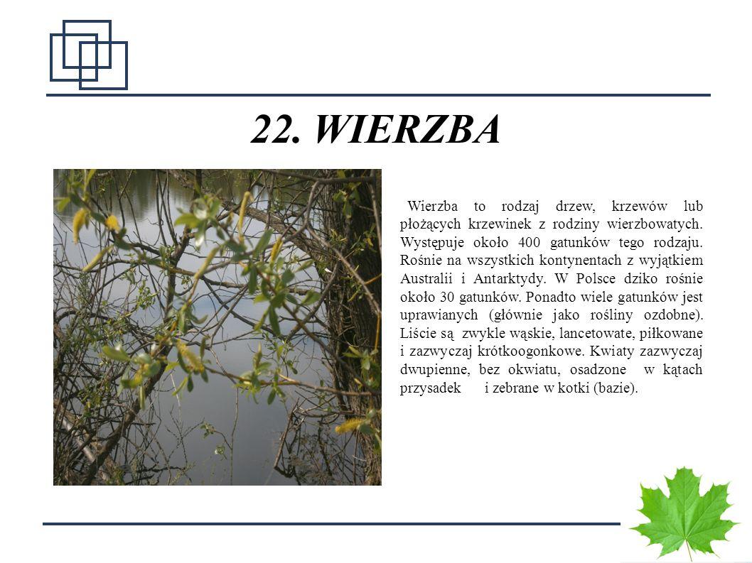 22. WIERZBA
