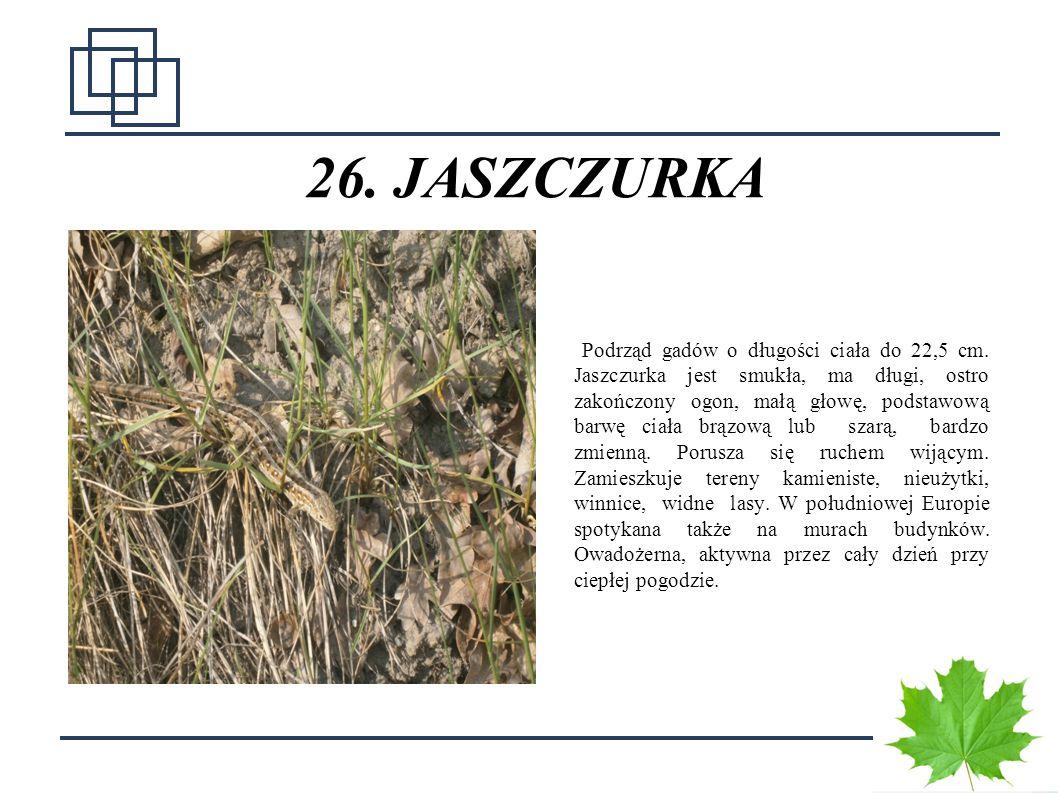 26. JASZCZURKA
