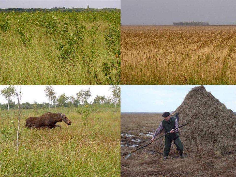 Główne zagrożenia: -Niekorzystne zmiany reżimu wodnego na obszarach lęgowych gatunku.