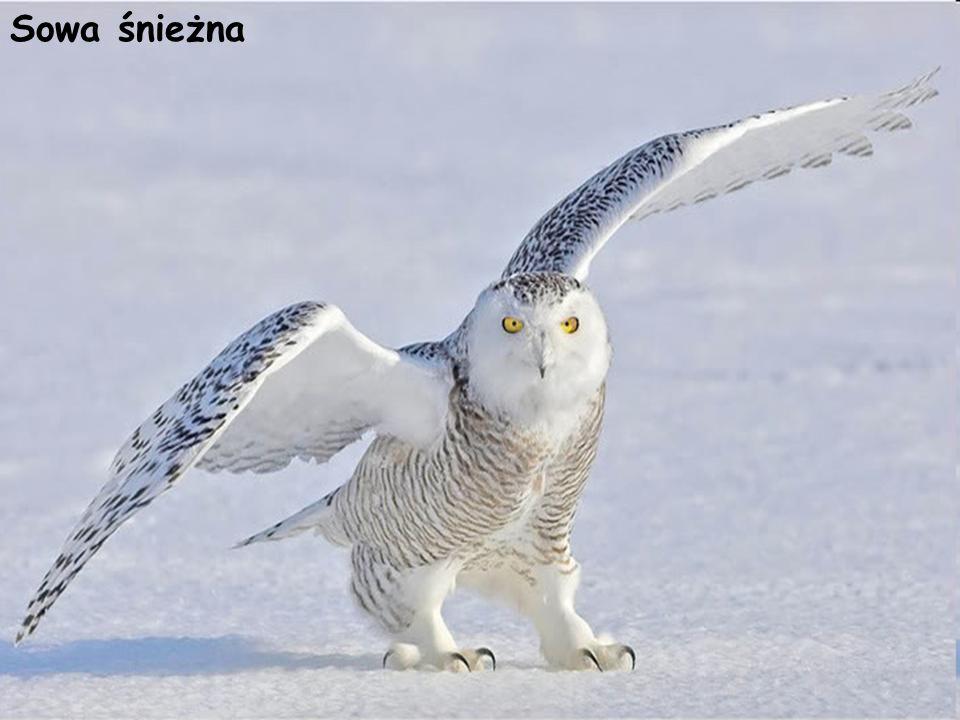 Sowa śnieżna Sowa śnieżna (puszczykowate, sowy) Bubo scandiacus