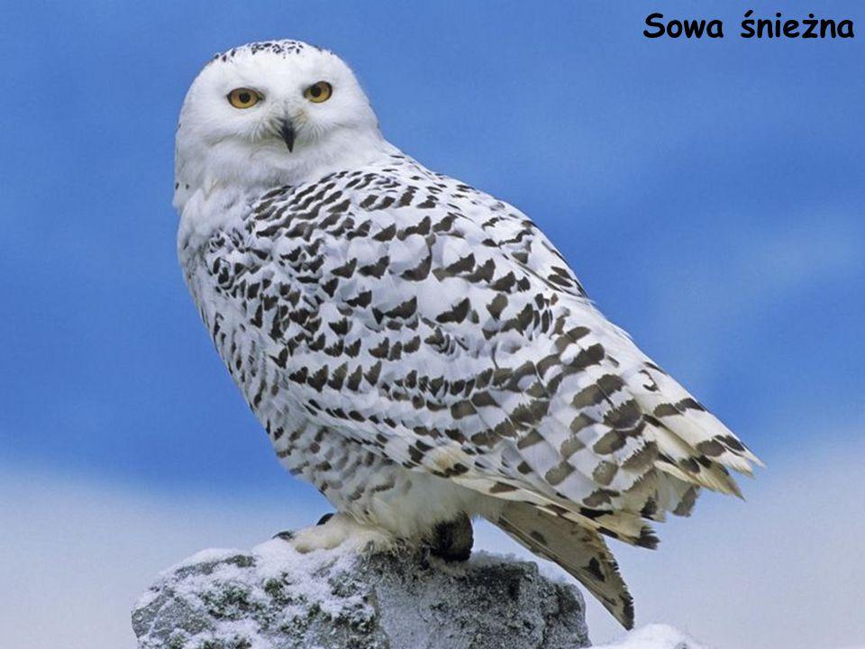 Sowa śnieżna Bubo scandiacus