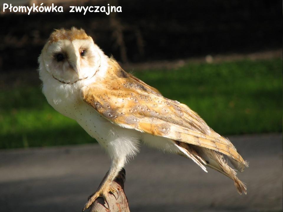 Płomykówka zwyczajna Płomykówka zwyczajna, płomykówka (Tyto alba) – średniej wielkości sowa z rodziny płomykówkowatych.