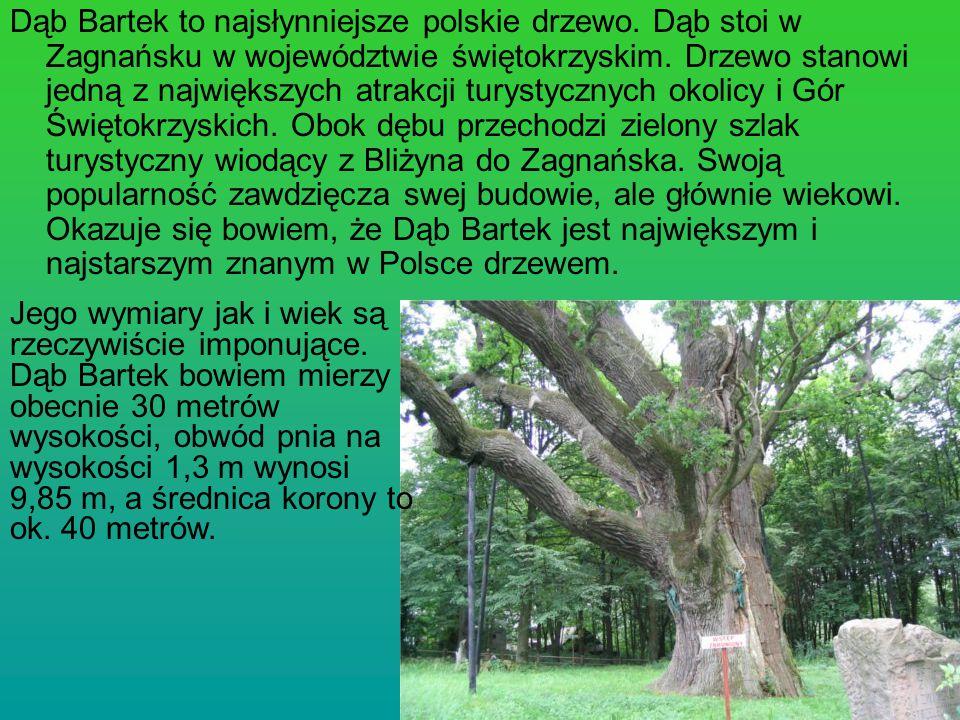 Dąb Bartek to najsłynniejsze polskie drzewo
