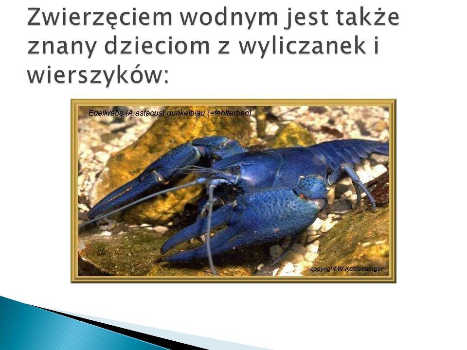 Zwierzęciem wodnym jest także znany dzieciom z wyliczanek i wierszyków: