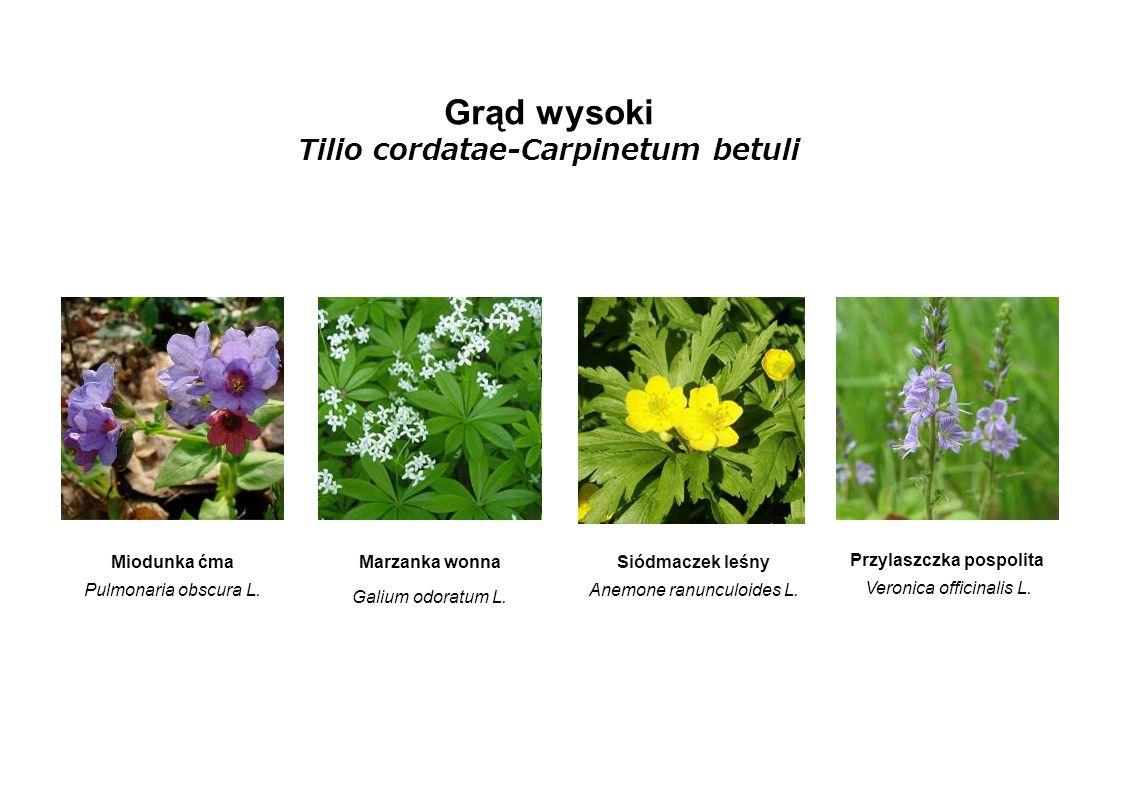 Tilio cordatae-Carpinetum betuli