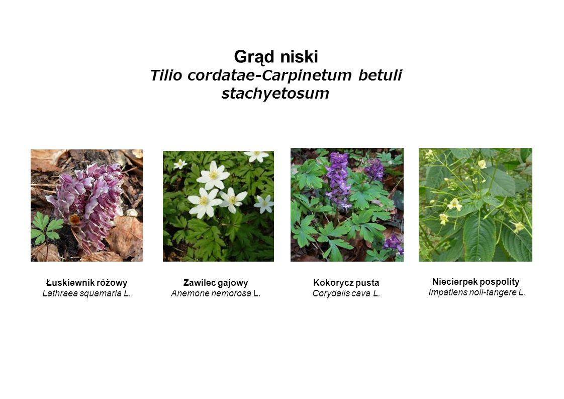 Grąd niski Tilio cordatae-Carpinetum betuli stachyetosum