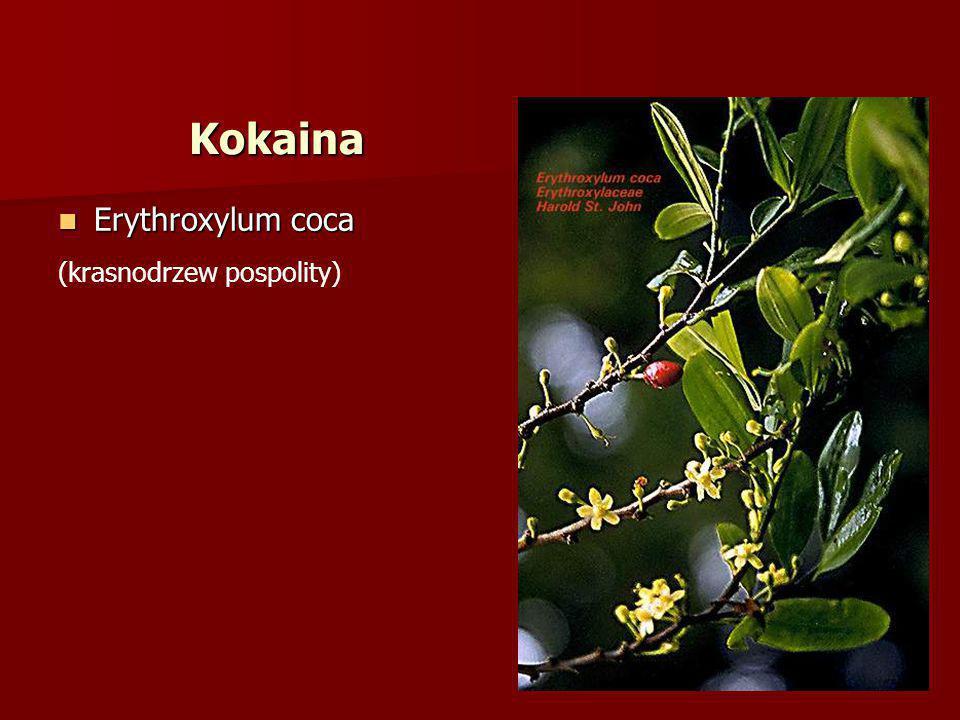 Kokaina Erythroxylum coca (krasnodrzew pospolity)