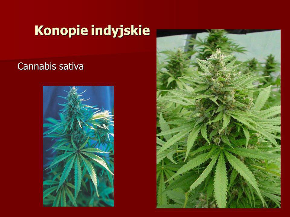 Konopie indyjskie Cannabis sativa