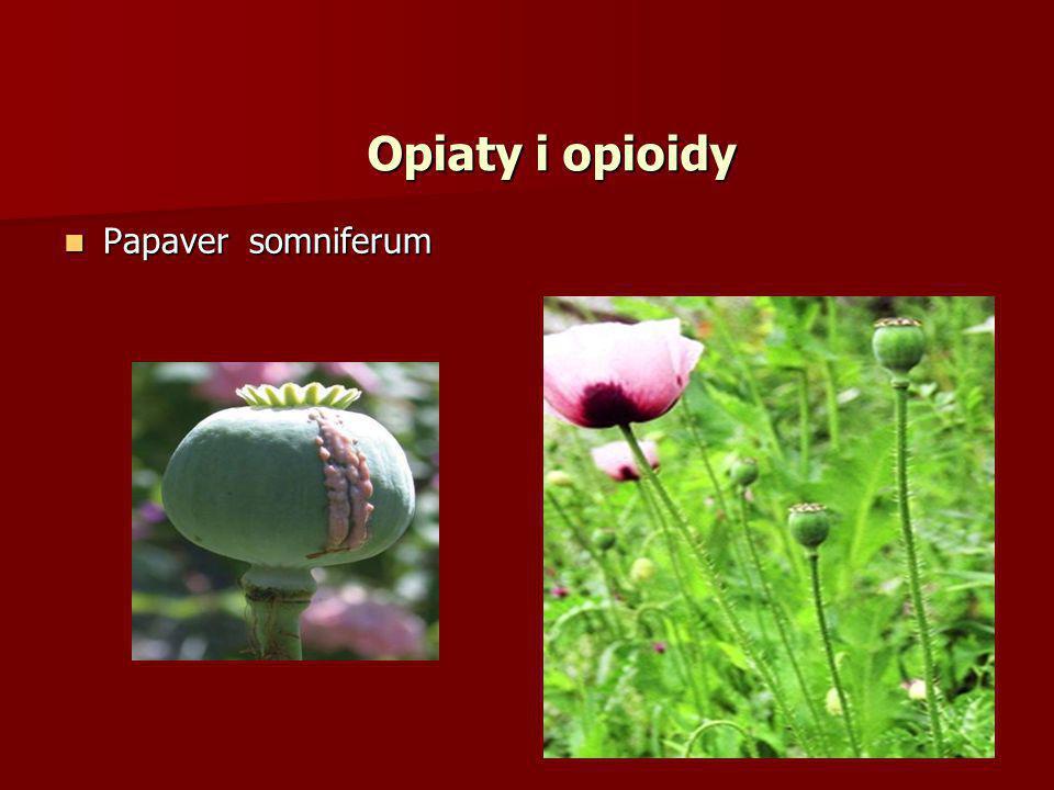 Opiaty i opioidy Papaver somniferum