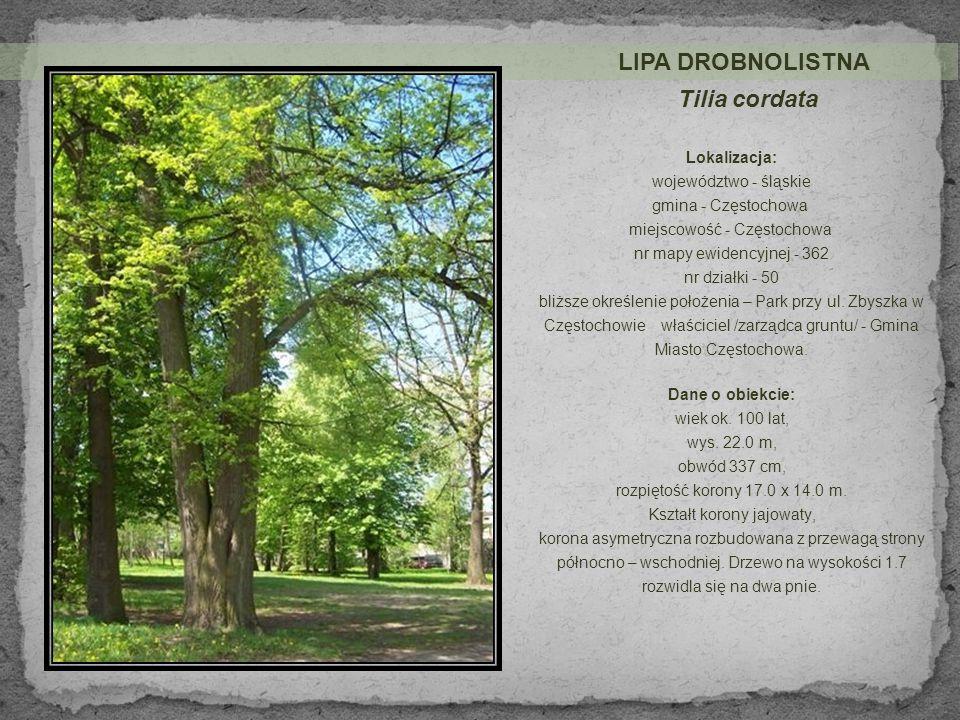 Tilia cordata LIPA DROBNOLISTNA