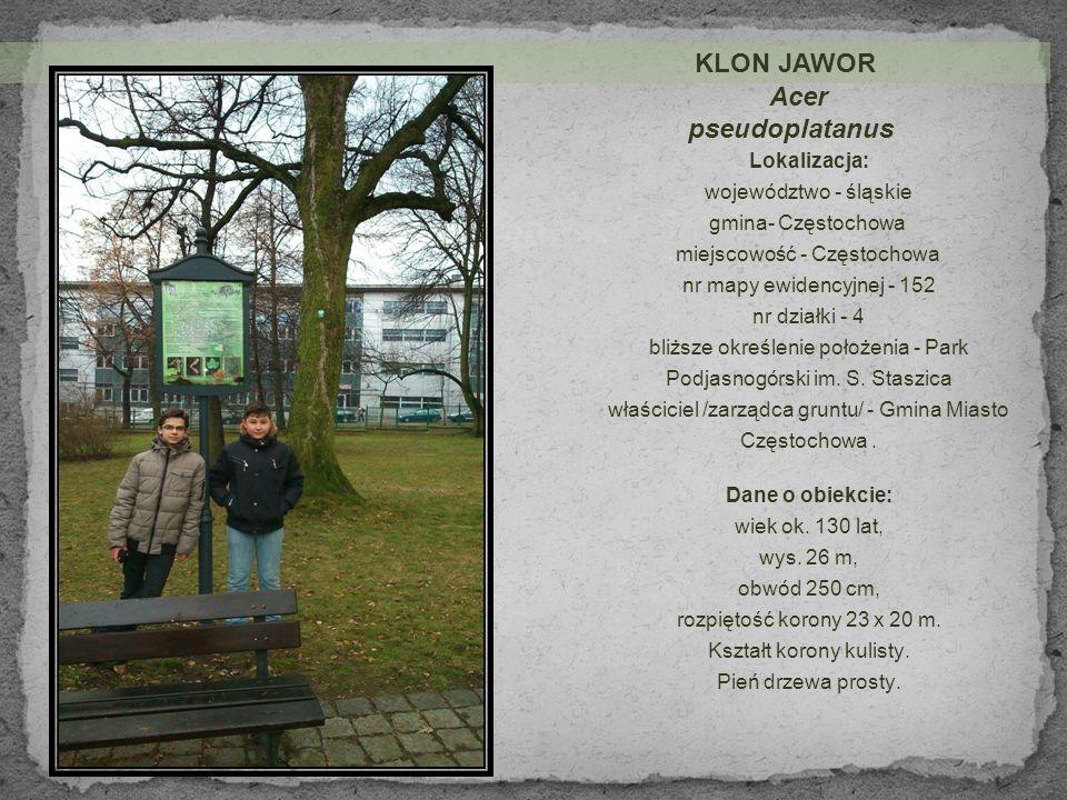KLON JAWOR Acer pseudoplatanus