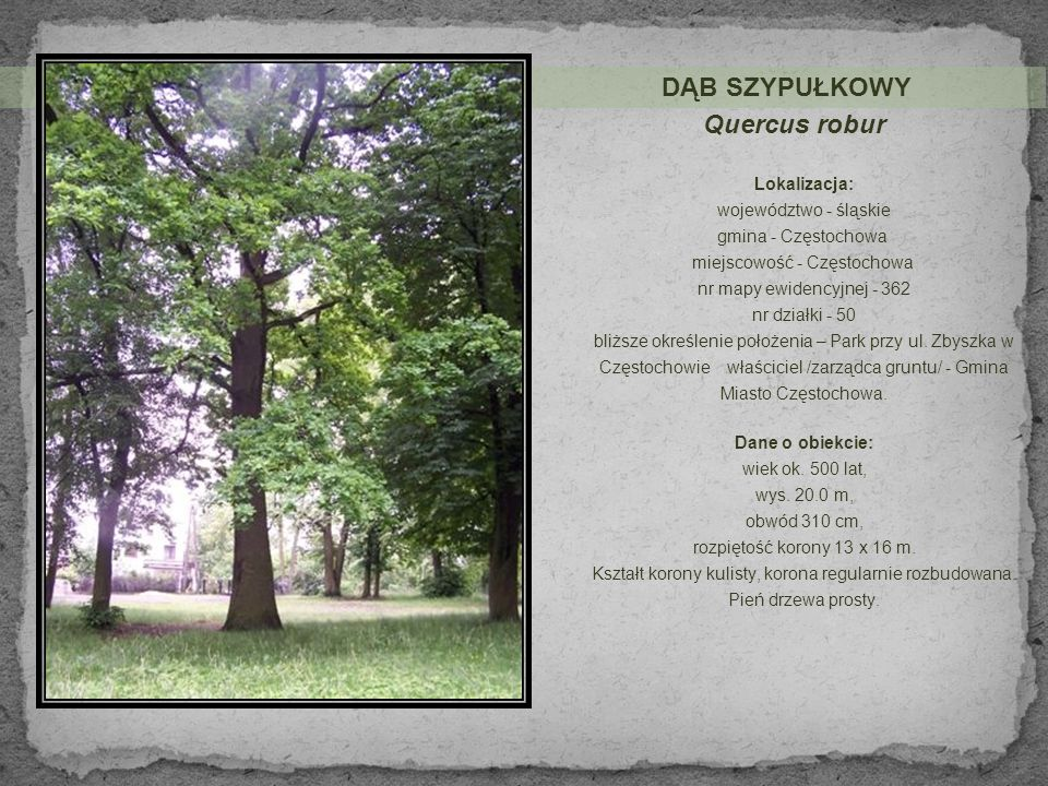 DĄB SZYPUŁKOWY Quercus robur