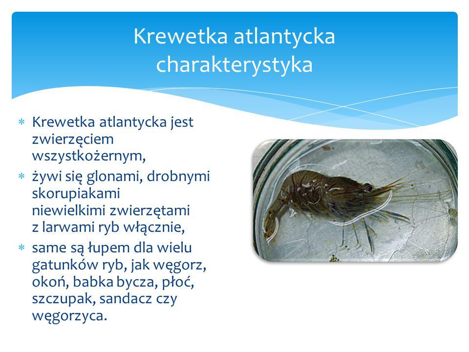 Krewetka atlantycka charakterystyka