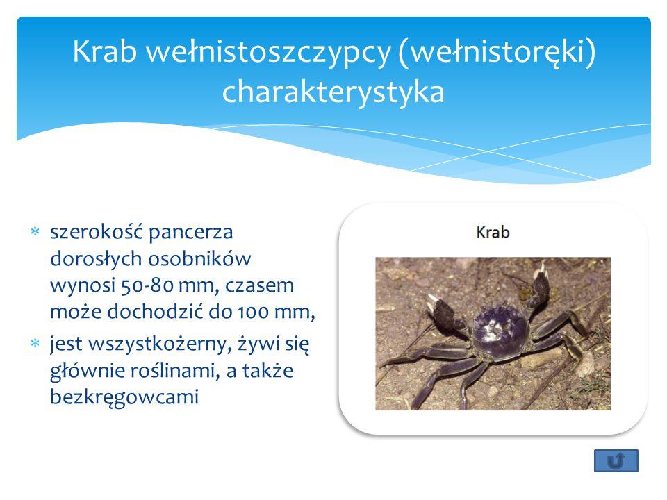 Krab wełnistoszczypcy (wełnistoręki) charakterystyka