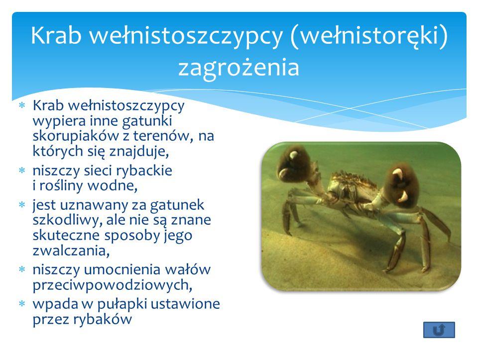 Krab wełnistoszczypcy (wełnistoręki) zagrożenia