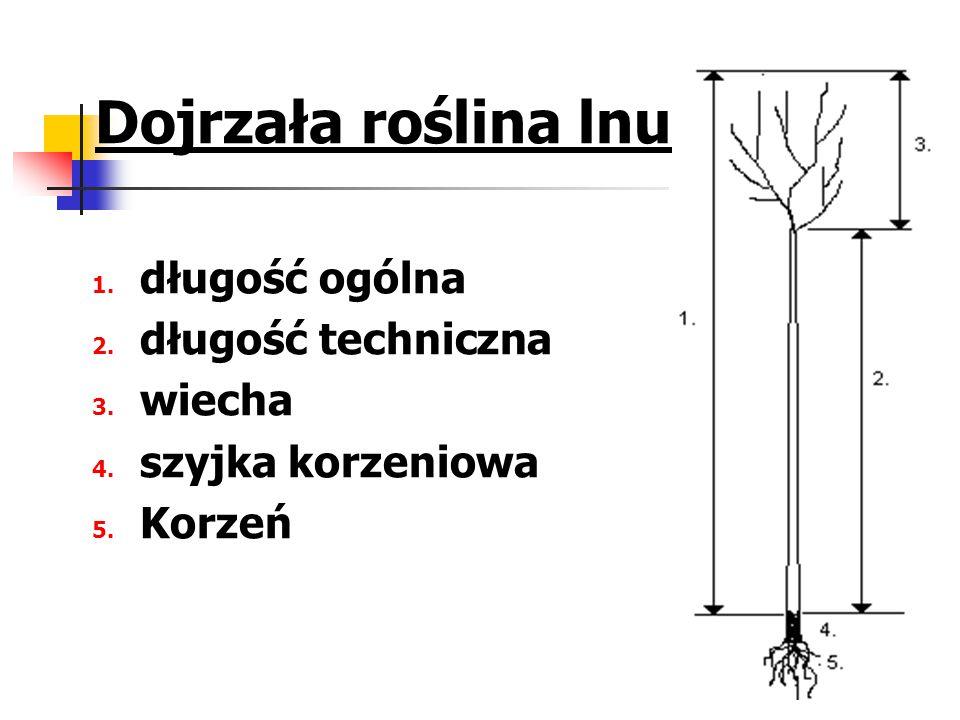 Dojrzała roślina lnu długość ogólna długość techniczna wiecha