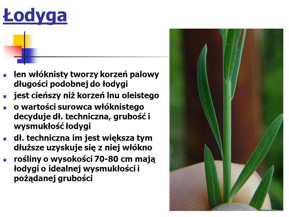 Łodyga len włóknisty tworzy korzeń palowy długości podobnej do łodygi