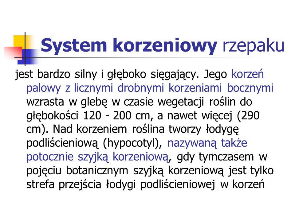 System korzeniowy rzepaku
