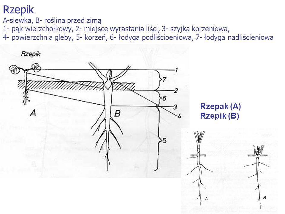 Rzepik A-siewka, B- roślina przed zimą 1- pąk wierzchołkowy, 2- miejsce wyrastania liści, 3- szyjka korzeniowa, 4- powierzchnia gleby, 5- korzeń, 6- łodyga podliścioeniowa, 7- łodyga nadliścieniowa