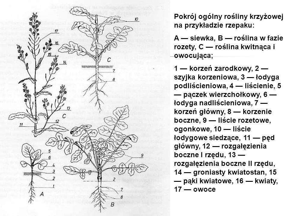 Pokrój ogólny rośliny krzyżowej na przykładzie rzepaku: