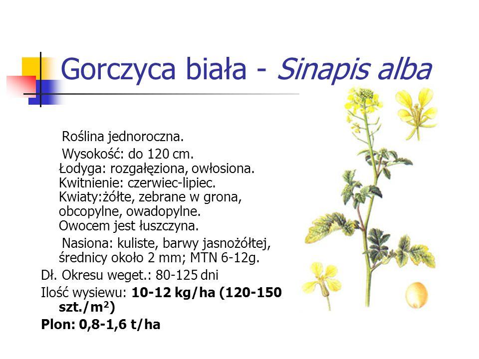 Gorczyca biała - Sinapis alba