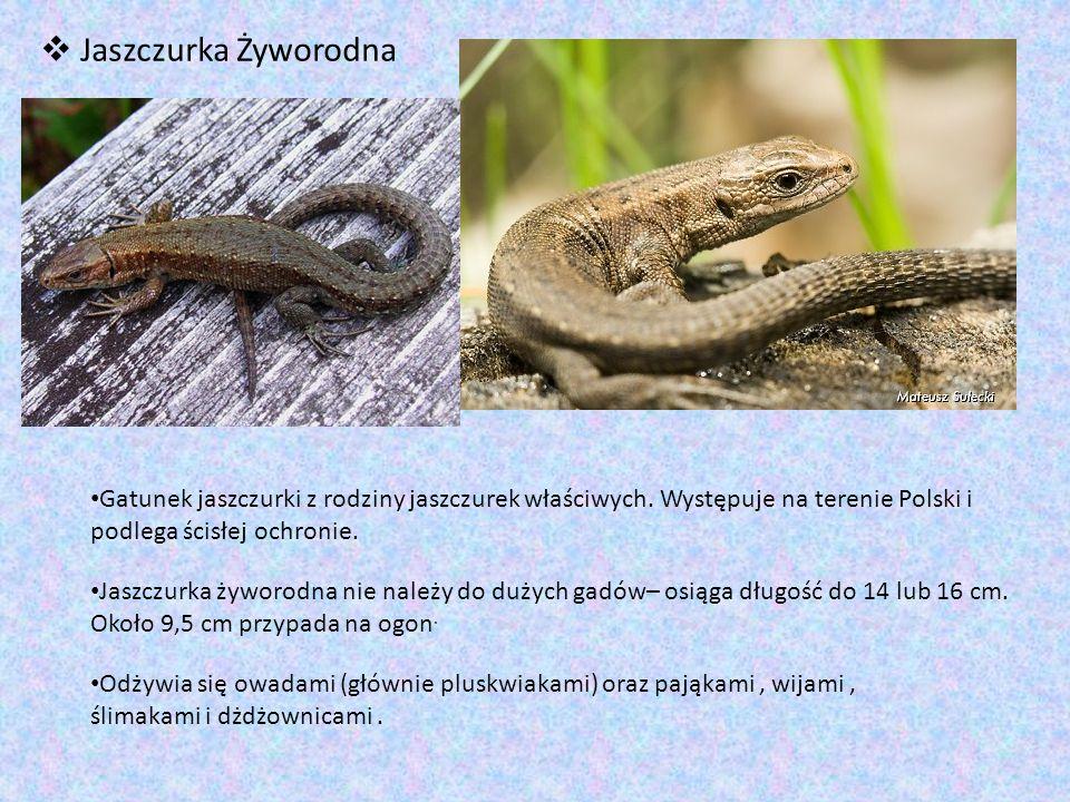 Jaszczurka Żyworodna Gatunek jaszczurki z rodziny jaszczurek właściwych. Występuje na terenie Polski i podlega ścisłej ochronie.