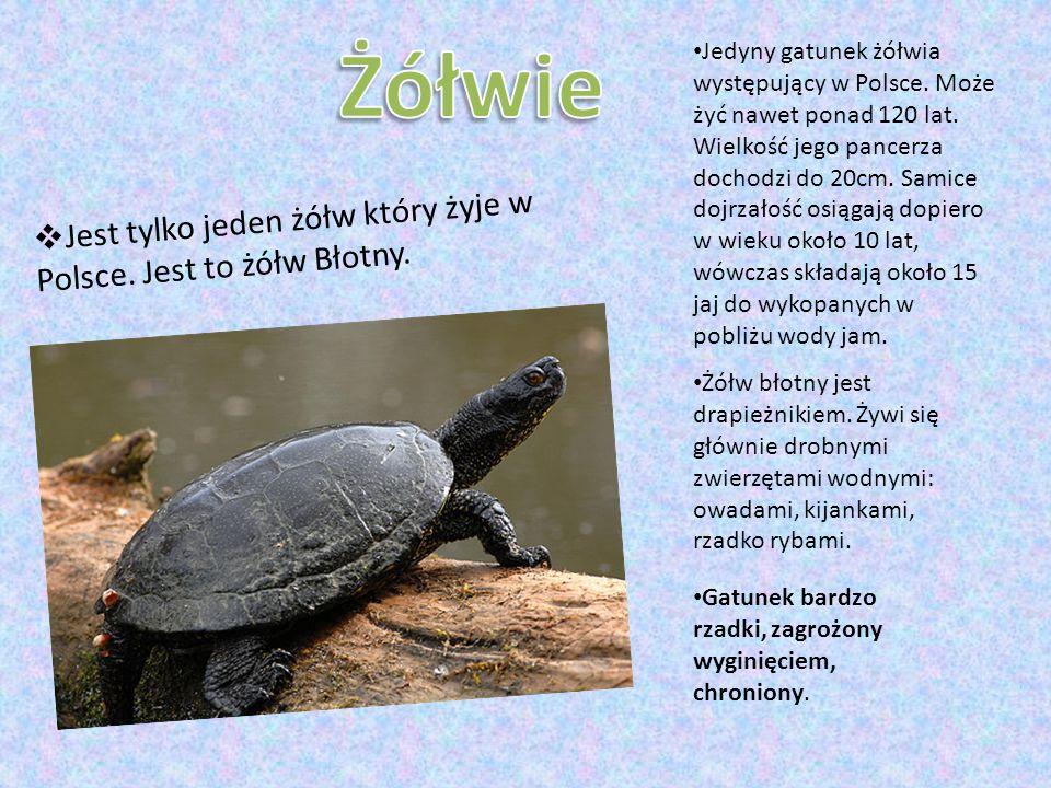 Żółwie Jest tylko jeden żółw który żyje w Polsce. Jest to żółw Błotny.