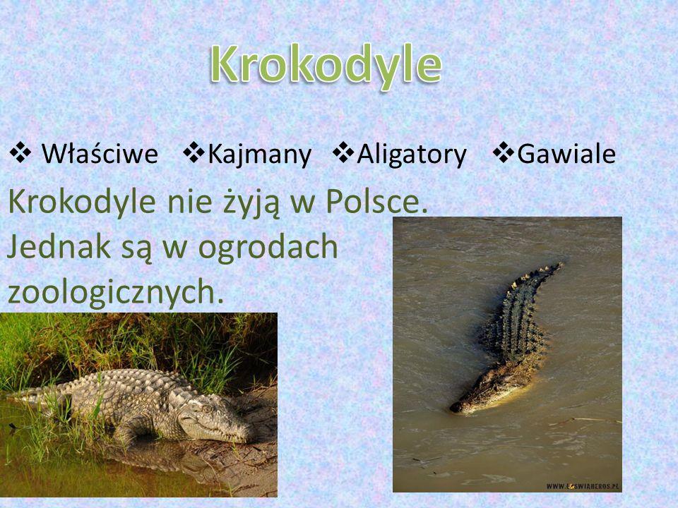 Krokodyle Właściwe. Kajmany. Aligatory. Gawiale.