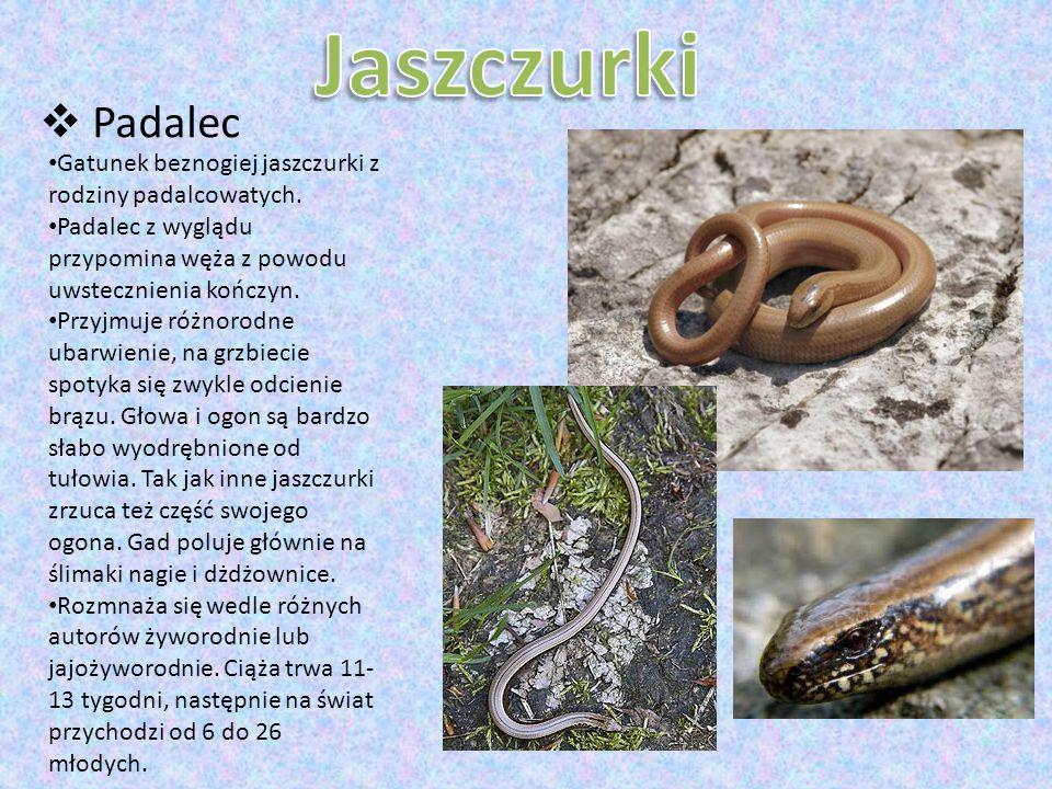 Jaszczurki Padalec. Gatunek beznogiej jaszczurki z rodziny padalcowatych. Padalec z wyglądu przypomina węża z powodu uwstecznienia kończyn.
