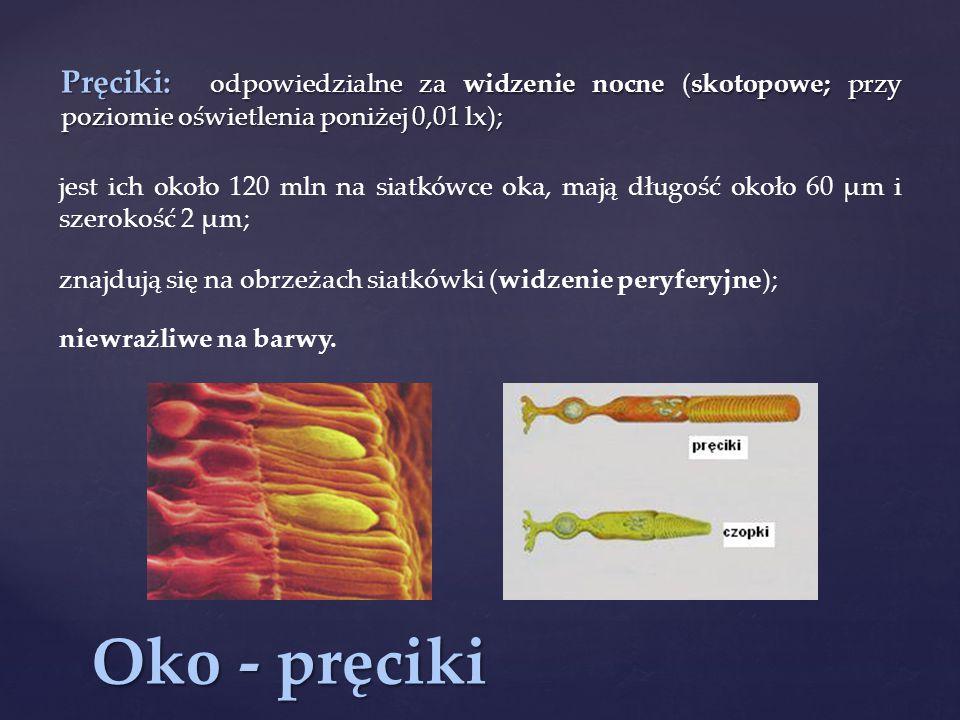 Pręciki: odpowiedzialne za widzenie nocne (skotopowe; przy poziomie oświetlenia poniżej 0,01 lx);