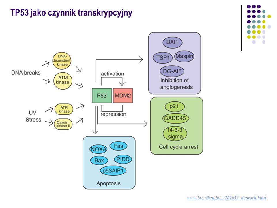 TP53 jako czynnik transkrypcyjny