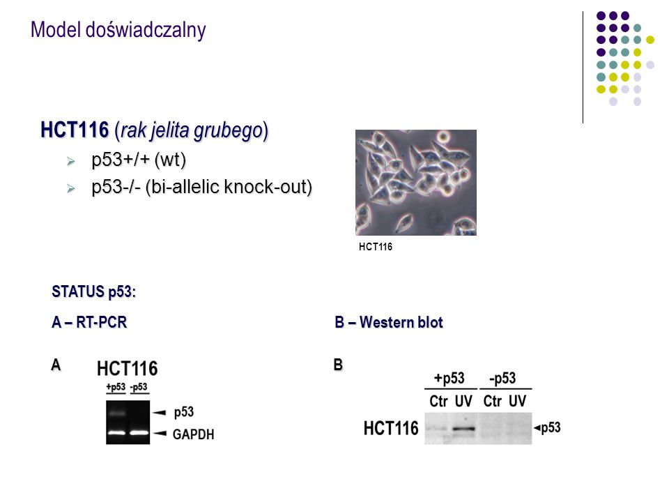 HCT116 (rak jelita grubego)