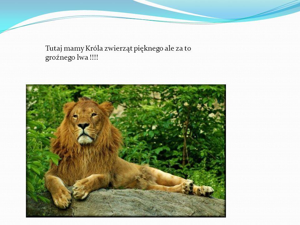 Tutaj mamy Króla zwierząt pięknego ale za to groźnego lwa !!!!