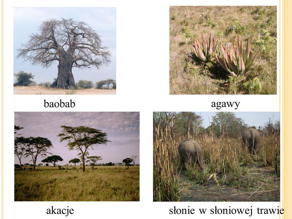 baobab agawy akacje słonie w słoniowej trawie
