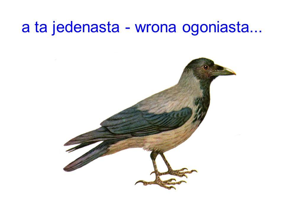 a ta jedenasta - wrona ogoniasta...