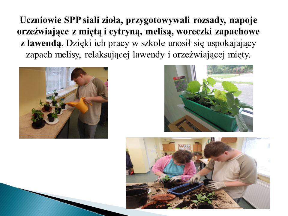 Uczniowie SPP siali zioła, przygotowywali rozsady, napoje orzeźwiające z miętą i cytryną, melisą, woreczki zapachowe z lawendą.